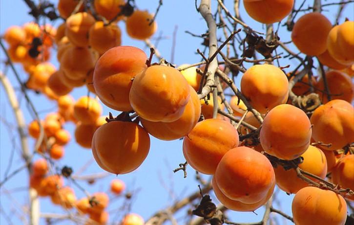 Hurma- garšīgs, vērtīgs un maģisks auglis