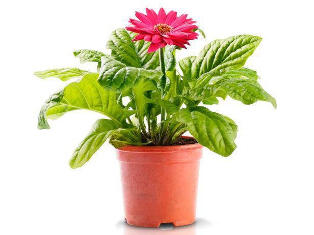 Vai mākslīgajiem istabas augiem piemīt īpašs spēks un enerģija?