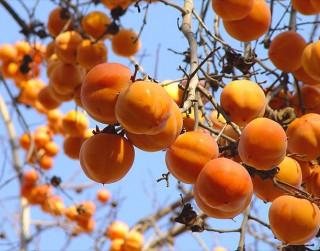 Hurma – garšīgs, vērtīgs un maģisks auglis