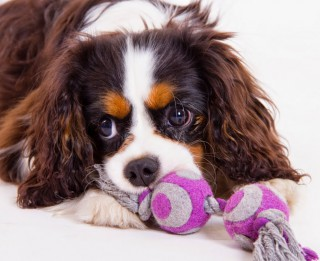 Suņi – terapeiti, kādi viņi ir?
